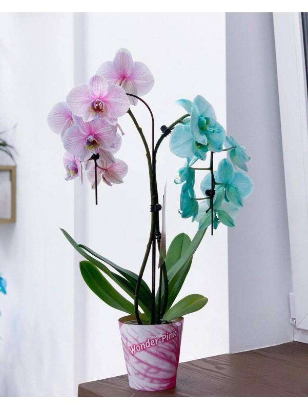 Орхидея Pink & Mint | Цветы в вазоне от Kiwi Flower Shop