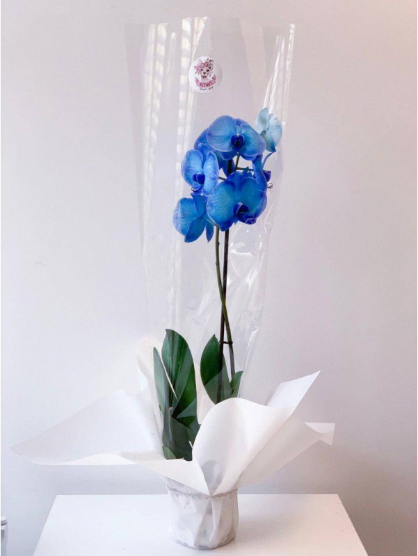Орхидея фаленопсис Royal Blue в горшке от Kiwi Flower Shop
