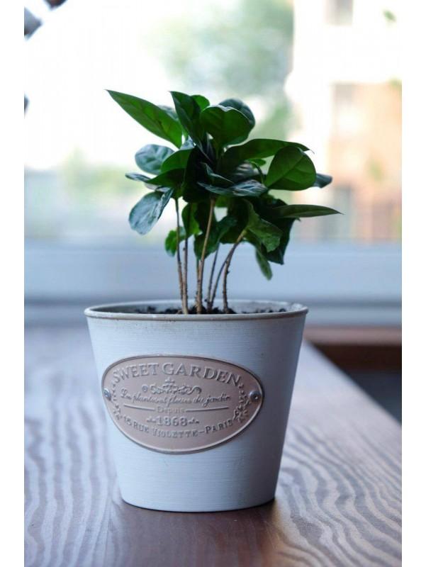 Кофейное дерево | Цветы в вазоне от Kiwi Flower Shop