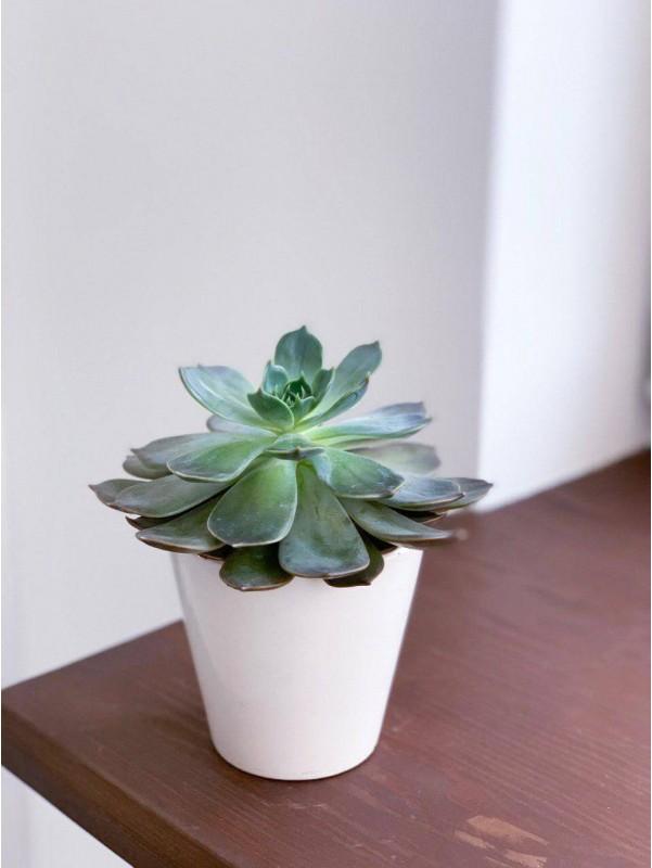 Милый суккулент | Цветы в вазоне от Kiwi Flower Shop